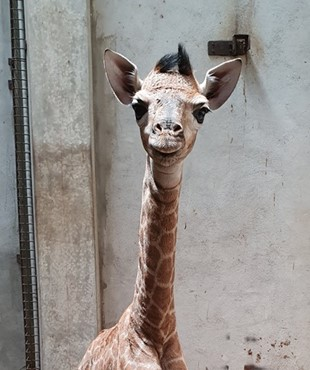 Birth announcement of the first Mauritian giraffe and dromedary babies